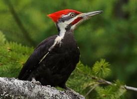 PileatedWoodpecker-Vyn-100525-0333